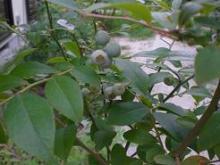 ブログ「へっぱく in裏庭」-ブルーベリー