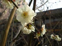 ブログ「へっぱく in裏庭」-梅の木