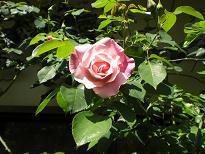 ブログ「へっぱく in裏庭」-バラ