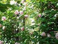 ブログ「へっぱく in裏庭」-バラ 2012