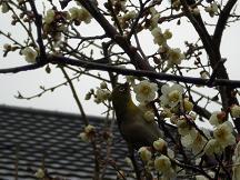 ブログ「へっぱく in裏庭」-mejiro.2013
