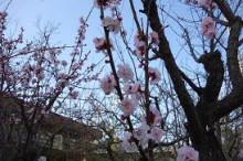ブログ「へっぱく in裏庭」-あんず 2013 03