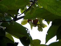 ブログ「へっぱく in裏庭」-柿