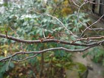 ブログ「へっぱく in裏庭」-冬の庭 木の芽