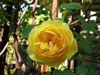 ブログ「へっぱく in裏庭」-グラハム トーマス