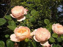 ブログ「へっぱく in裏庭」-クィーン オブ スウェーデン