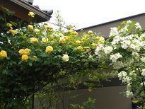 ブログ「へっぱく in裏庭」-スノーグース