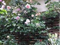 ブログ「へっぱく in裏庭」-ピエール ドゥロンサール