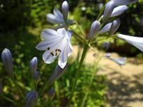 ブログ「へっぱく in裏庭」-アガパンサス2
