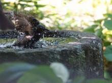 ブログ「へっぱく in裏庭」-ひよの水浴び1
