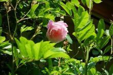 ブログ「へっぱく in裏庭」-スパニッシュ ビューティー 2013.4