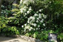 ブログ「へっぱく in裏庭」-ハクサンボク 2013.4