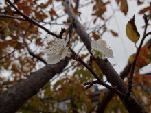 ブログ「へっぱく in裏庭」-2013/11 スモモの花